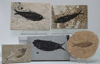 Budget Set 5 Fossil Fish Knightia Diplomystus Green River Formation Wyoming