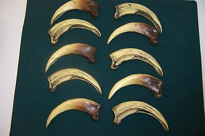 Native American crafts 10 large Repobear claws 5 1/2 inches on the curve
