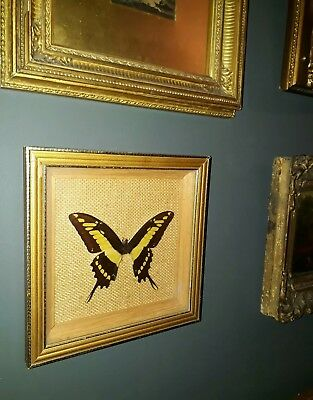 Old Antique Real Gilt Framed Taxidermy Butterfly Moth Victorian Vintage Nature