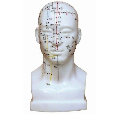 Head Acupuncture Model (Chinese Characters)
