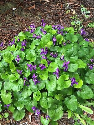 VIOLET X 10 Violets Garden Plants, Tough Spreading Plant For Shade Dry Or Damp