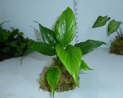 Peace Lily House Plant Spathiphyllum Perennial Garden Lawn White