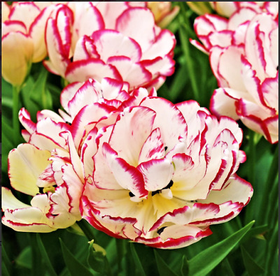 Tulip Bulbs Long Lasting Tulip Mix All Color Gardening Garden Plant Seeds Flower