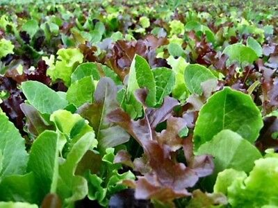 Lettuce  Mix 400 Seeds Organic Heirloom