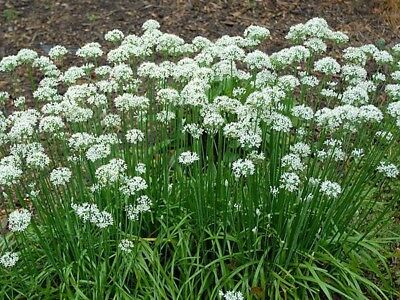 Garlic CHIVES 100 seeds heirloom, organic