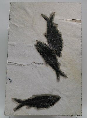 3 Nearly Perfect Knightia Fossil Fish Green River Formation Wyoming Eocene