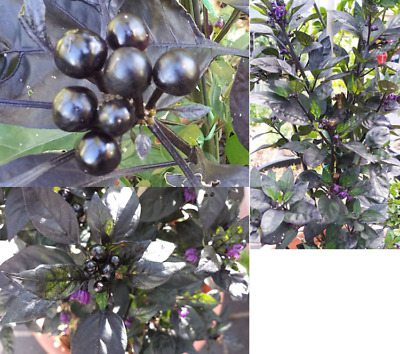 Black Pearl Chilli Plant - One of the most Beautiful Hot Chilli Variety