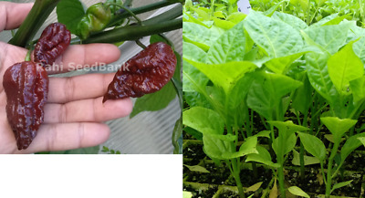 Carolina Reaper Chocolate Chilli Plant - World's Hottest Chocolate Chili Variety