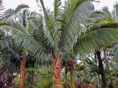 5 Seeds -  Beccariophoenix fenestralis (Eastern) - Great Windowpane Palm