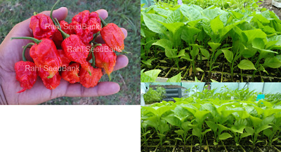 Carolina Reaper Red Chilli Plant - World's Hottest Chili Variety