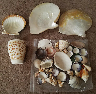 Sea Shell Collection 2 Pteria Penguin Roding shells, and collection of clam
