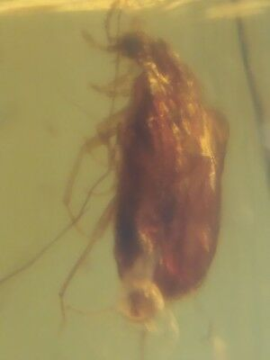 Burmite amber insect,collection,interesting,teaching free shipping,very rare#272
