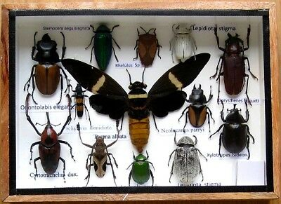 Real Beetle Rare Insect Display Taxidermy Bug in Wood Box Collectible Gift