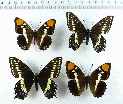 ++ SCHMETTERLING: 2 x PAPILIO INDRA SHASTENSIS MALE 2 x ADELPHA CALIFORNICA MALE