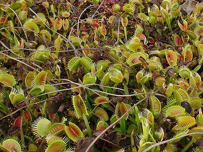 Carnivorous plant Dionaea muscipula, Venus Fly Trap, 10 000 seeds