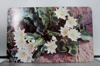 Montana MT Bitterroot State Flower Postcard Old Vintage Card View Standard Post