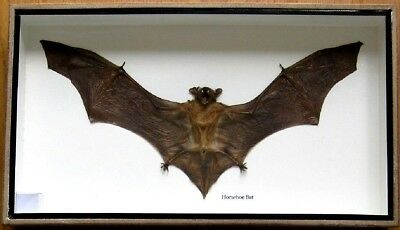 Real Rare Mounted Horsehoe Bat Insect Display Taxidermy Beetle In Wood Box