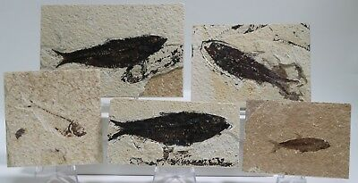 Set of 5 Budget Fossil Fish Green River Formation Wyoming Post Dinosaur Era
