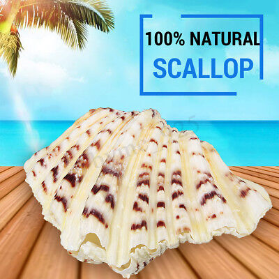 Natural Sea Shells 10-12 cm Fan Shaped Scallop Clam Crafts Decor Beach Marine