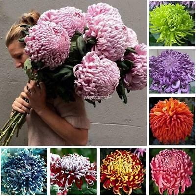 100pcs Colorful Chrysanthemum Seeds Rare Flower Seeds Garden Potted Plants