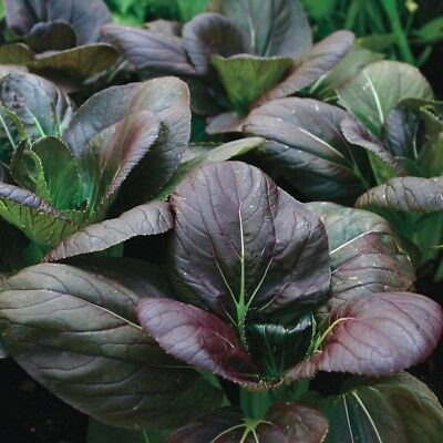 CABBAGE 'Red Choi' 100 seeds