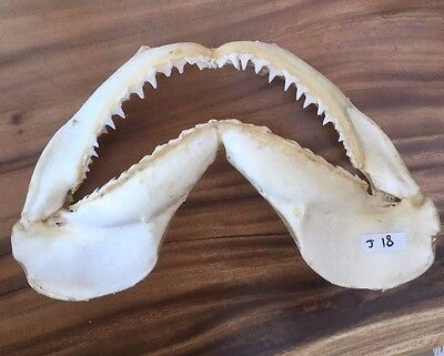32Cm Wide Black Tip Shark Jaws For Sale Sharp Serrated Teeth Oceanicshark   J18