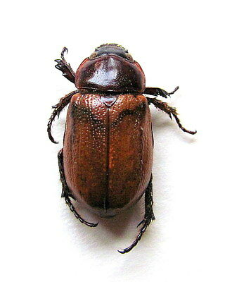 *** BEETLES, Insects, (53) , Dynastidae, Dynastinae ssp.  ***