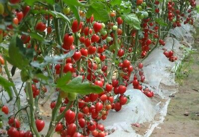 1 Bag 30 Seeds Red Cheery Tomato Seed garden yard patio Vegetable  seed