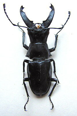 *** BEETLES, Insects, (PN365) , Lucanidae, Cantharolethrus luxeri VERY RARE **