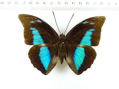 ++ Schmetterling: Prepona Thyrias ♂ Satipo Peru