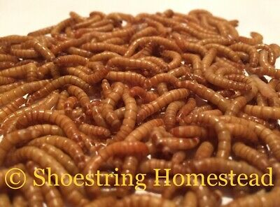 250+ ALL ORGANIC Live Mealworms - For Breeding / Feeding - FREE shipping!