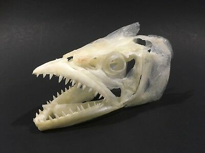 Real Genuine Fish Skull Spanish mackerel  Taxidermy Skeleton Collection Fossil