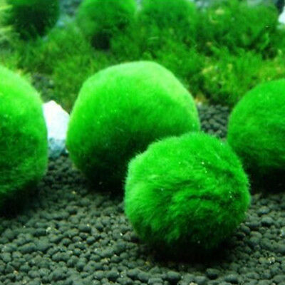 3-5cm Giant Marimo Moss Ball Cladophora Live Plant Fish Aquarium Decor Green