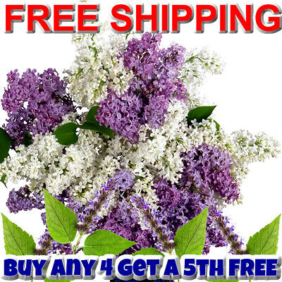 PATCHOULI WHITE LILAC LAVENDER Body Spray Mist XStrong - VEGAN & CRUELTY FREE