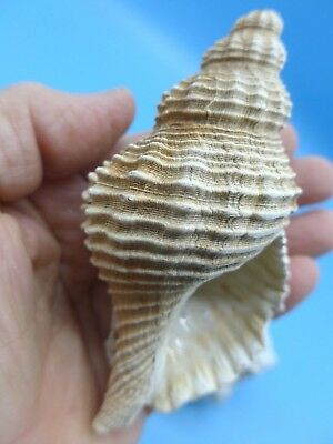 Rare And Unusual Fossil Buccinofusus Parilis Shell /st Mary's Formation/ Miocene