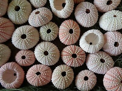 10 SMALL WHITE TO PINK SEA URCHINS  3 - 4.5 CM Shell Art Craft Display Urchin