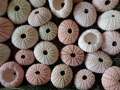 20 SMALL WHITE TO PINK SEA URCHINS  3 - 4.5 CM Shell Art Craft Display Urchin