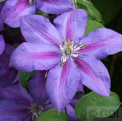 N Thompson großblumig  60//100 cm frosthart Waldrebe Clematis Mrs
