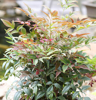 Himmelsbambus Obsessed 25-30cm - Nandina domestica