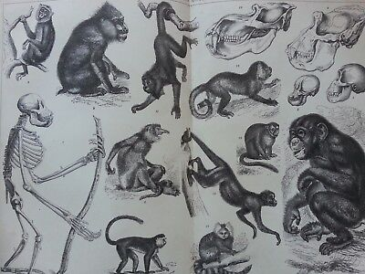 Antique Print Dated 1880 Apes And Monkeys Engraving Fold Out Animals Apes Art