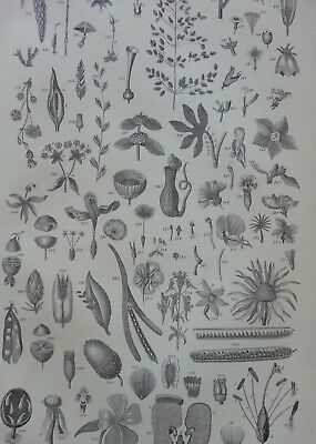 Antique Print Dated 1880 Botany Engraving Flowers Plants Botanical Etching Art