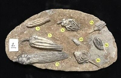Seven Fossil Crinoids on One Tight Plate