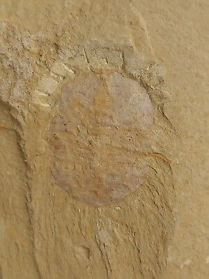 Fossil panlongia, interest, teaching, collection,Save the limbs