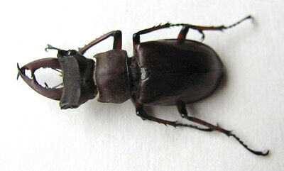 *** BEETLES, Insects, (90) , Lucanidae, Lucanus sztechuanicus ***