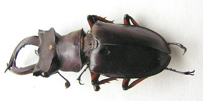 *** BEETLES, Insects, (91) , Lucanidae, Lucanus sztechuanicus ***