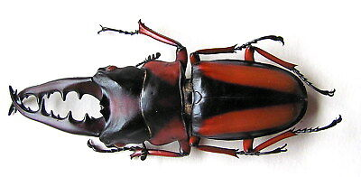 *** BEETLES, Insects, (94) , Lucanidae,  Prosopocoilus savagei, XL ***