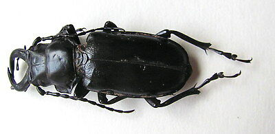 *** BEETLES, Insects, (95) , Prionidae, Notophysis johnstoni, XL ***