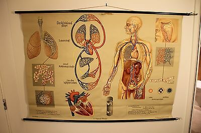 VINTAGE POSTER human medical school pull down chart 60's 70's retro education