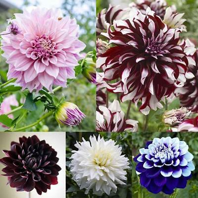 20Pcs Mix Dahlia flower seeds Great Bonsai Plant Perennial Stunning bloom