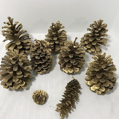 Pine Cone Real Extra Large Sprayed Gold Christmas 6-8 inches Set 7